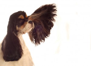Dog Has Black Smelly Ears