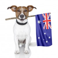 Jack Russell with an Australian Flag