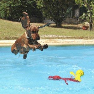 A cocker spaniel jumping into a pool