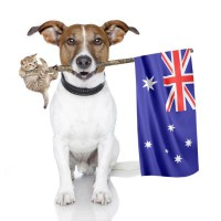 JRT with a Aussie flag and kitten