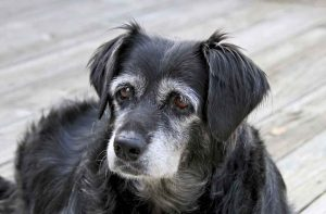 Attentive Senior Dog