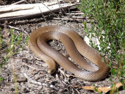 Snakes in Canberra | Hall Veterinary Surgery